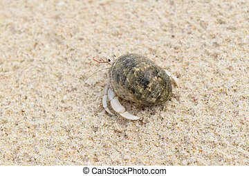 Hermit Crab - Close up hermit crab photo on the beach in...