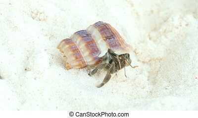 Hermit crab on the sandy beach. Similan Islands, Thailand