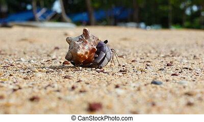 Hermit Crab - hermit crab walk on a beach