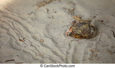 Hermit crab - Tiny hermite crab with a shell on his back,...