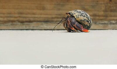 Hermit Crab walking - Hermit Crab in Aruba beach