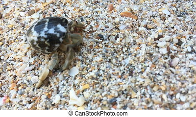Hermit crab with shell crawling on beach - Closeup view of ...