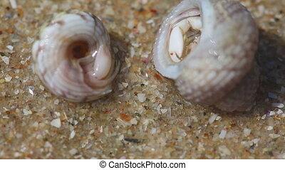 Hermit crabs - Tiny hermit carbs in sea shells. Macro shot