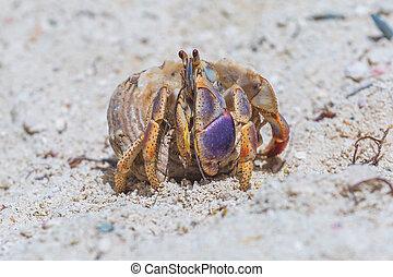 Hermitcrab on the beach of Aruba island