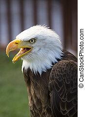 hermoso, águila, norteamericano, calvo, norte