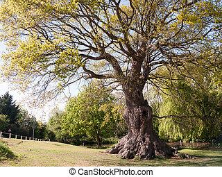 hermoso, árbol grande, con, de par en par, tronco, en el estacionamiento