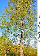 hermoso, árbol, primavera, abedul