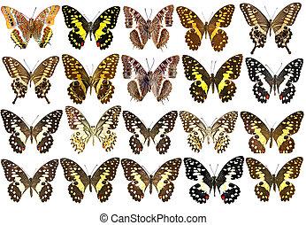 hermoso, aislado, colección, tropical, mariposas, blanco