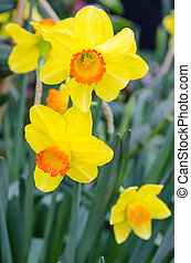 hermoso, amarillo, narciso, flores