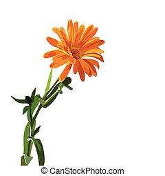 hermoso, aster, flor, aislado, blanco