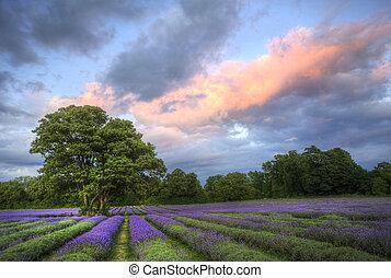 hermoso, atmosférico, maduro, vibrante, campo, campos, imagen, cielo, lavanda, maravilloso, ocaso, inglés, nubes, encima, paisaje