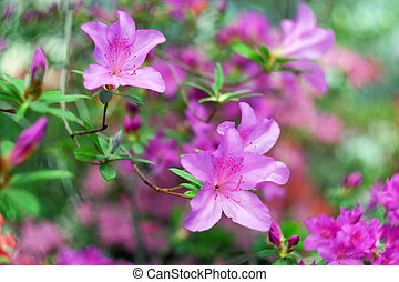 hermoso, azalea, florecimiento