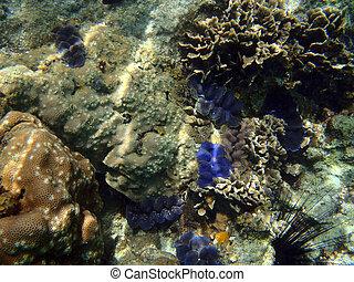 hermoso, azul, almejas gigantes, barrera coralina