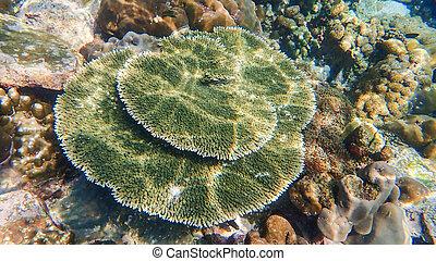 hermoso, barrera coralina, en, submarino