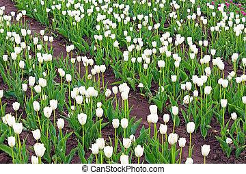 hermoso, blanco, tulipanes, en, el, primavera, jardín