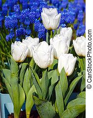 hermoso, blanco, tulipanes, y azul, flores, behind.