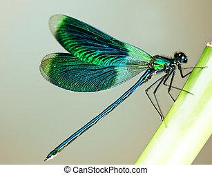 hermoso, brillante, libélula