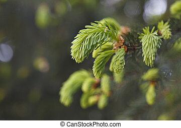 hermoso, brotes, árboles, conífero