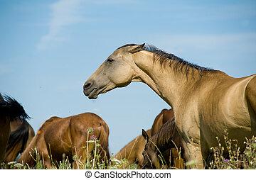 hermoso, caballo, en, manada