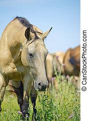 hermoso, caballo, manada