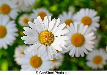 hermoso, camomila, flores, primer plano