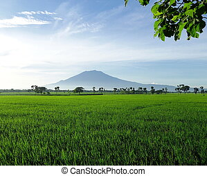 hermoso, campo, arroz