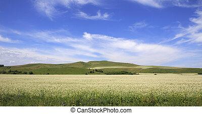 hermoso, campo, de, trigo sarraceno, en, el, altai.