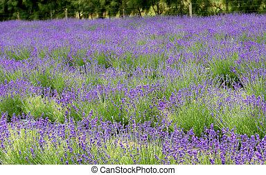 hermoso, campo, lavender.