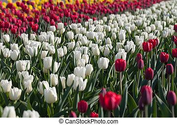 hermoso, campo, tulipanes, Florecer