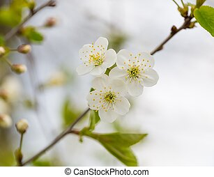 hermoso, cereza, flores, árbol