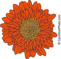 hermoso, color, bosquejo, dalia, flor, en, un, fondo blanco