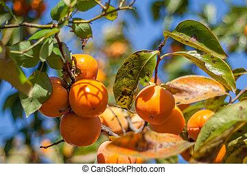 hermoso, color, fruits, naranja, caqui, ramo