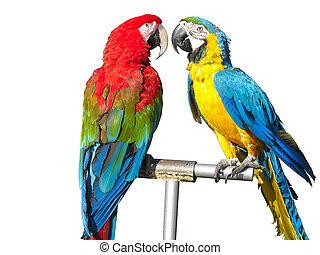 hermoso, coloreado, encima, aislado, dos, brillante, loros,...