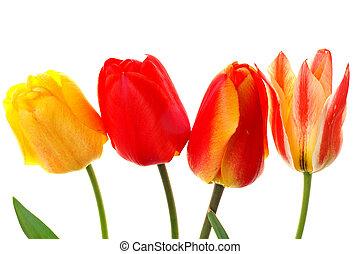 hermoso, colorido, tulipanes, aislado
