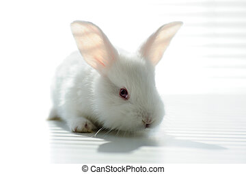 hermoso, conejo blanco, conejito de pascua
