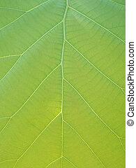 hermoso, configuración natural, hojas, teak, verde