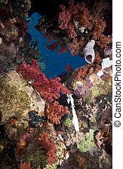 hermoso, coral