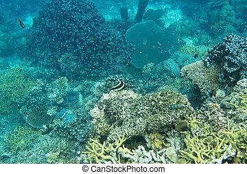 hermoso, coral, indonesia, arrecife