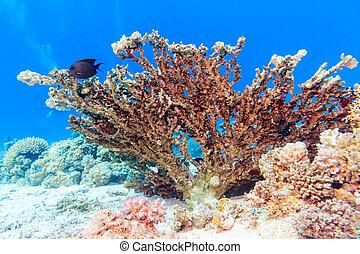 hermoso, coral, sea., rojo, fondo