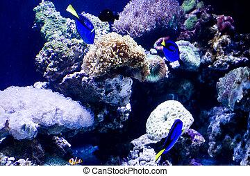 hermoso, coral, y, coral, pez