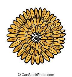 hermoso, crisantemo, aislado, amarillo