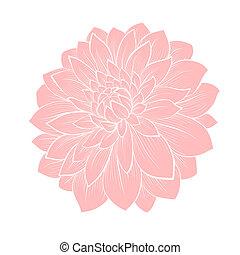 hermoso, dalia, flor, aislado, blanco