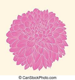 hermoso, dalia rosa, dibujado, en, gráfico, estilo, contornos, y, líneas, aislado, en, fondo.