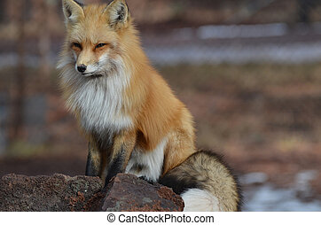 hermoso, el suyo, alrededor, zorro, cola, él, rojo, rizado