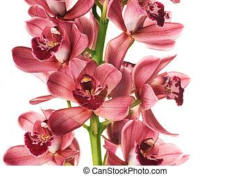 hermoso, encima, blanco, orquídea