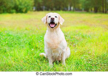hermoso, feliz, perro cobrador dorado, perro, sentar césped, en, día de verano