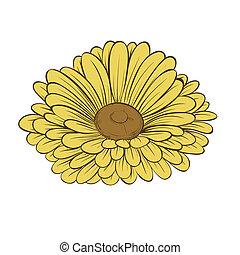 hermoso, flor, aislado, fondo., margarita, blanco