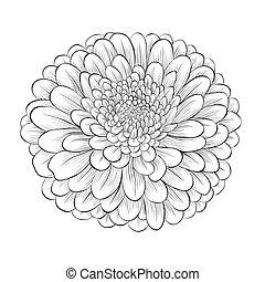 hermoso, flor, aislado, fondo negro, monocromo, blanco