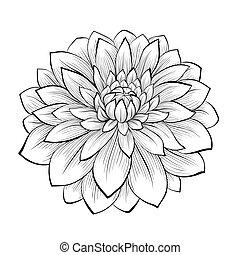 hermoso, flor, aislado, fondo negro, monocromo, dalia, ...