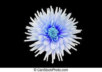 hermoso, flor azul, aislado, dalia